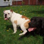 Sådan socialiserer du din hvalp eller nye hund